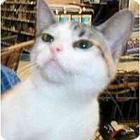 Adopt A Pet :: Ruby No-Tail - Dallas, TX