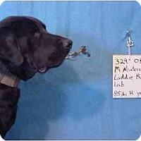 Adopt A Pet :: Laddie/Rescued! - Zanesville, OH