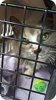 Ragdoll Cat for adoption in Huntington Station, New York - TASHA