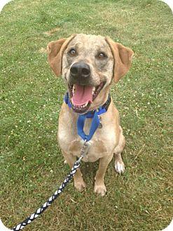 Hound (Unknown Type)/Labrador Retriever Mix Dog for adoption in New Milford, Connecticut - Elvis