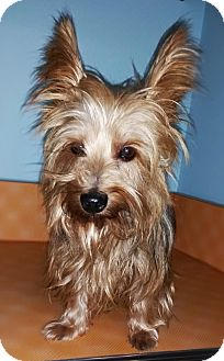 Yorkie, Yorkshire Terrier Dog for adoption in Glastonbury, Connecticut - Scout