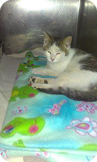 Domestic Shorthair Kitten for adoption in Muskegon, Michigan - John SmithKitty