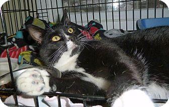 Domestic Shorthair Cat for adoption in Carmel, New York - Brownie