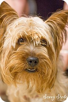 Yorkie, Yorkshire Terrier Mix Dog for adoption in Greensburg, Pennsylvania - Ty