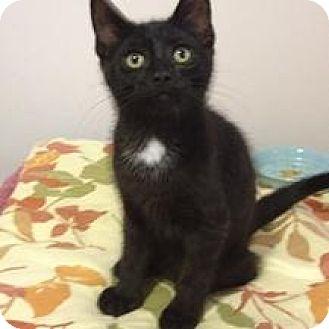 Domestic Shorthair Kitten for adoption in Hamilton, Ontario - Finn