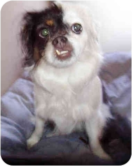 Japanese Chin/Pekingese Mix Dog for adoption in San Clemente, California - OREO = 12 lb. Shy Sweetheart