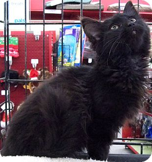 Domestic Longhair Cat for adoption in Sterling Heights, Michigan - Shadow