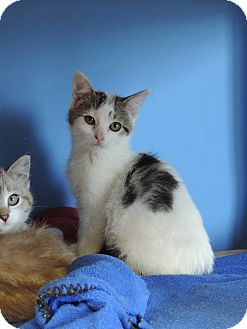 Domestic Shorthair Kitten for adoption in Brookings, South Dakota - Dove
