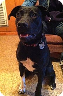 Border Collie/Pit Bull Terrier Mix Dog for adoption in Dover, Tennessee - Milly