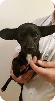 Dachshund/Chihuahua Mix Dog for adoption in Rathdrum, Idaho - Iona