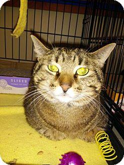 Domestic Shorthair Cat for adoption in Avon, Ohio - Luna