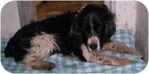 Spaniel (Unknown Type)/Springer Spaniel Mix Dog for adoption in Aledo, Illinois - Herman
