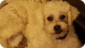 Poodle (Miniature) Mix Puppy for adoption in Kirkland, Washington - Demi