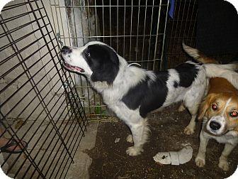 Border Collie Mix Puppy for adoption in Glastonbury, Connecticut - Kogan
