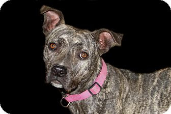 American Pit Bull Terrier Puppy for adoption in Ruidoso, New Mexico - Razzle