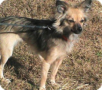 Chihuahua/Papillon Mix Dog for adoption in Maynardville, Tennessee - Carli