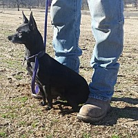 Chihuahua Dog for adoption in Tuttle, Oklahoma - Huey