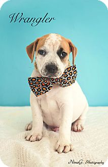 Pit Bull Terrier/Blue Heeler Mix Puppy for adoption in Michigan City, Indiana - Wrangler
