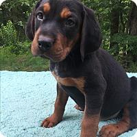 Adopt A Pet :: Remington - SOUTHINGTON, CT