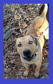 Labrador Retriever/Australian Cattle Dog Mix Dog for adoption in Little Rock, Arkansas - Gunnar