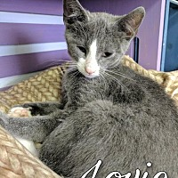 Domestic Shorthair Cat for adoption in Island Heights, New Jersey - Lovie