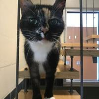 Domestic Shorthair Cat for adoption in Land O'Lakes, Florida - Roku