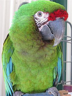 Macaw for adoption in Elizabeth, Colorado - Frankie