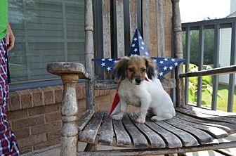 Dachshund/Spaniel (Unknown Type) Mix Puppy for adoption in Winder, Georgia - Rose