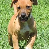 Adopt A Pet :: Desie - Joplin, MO