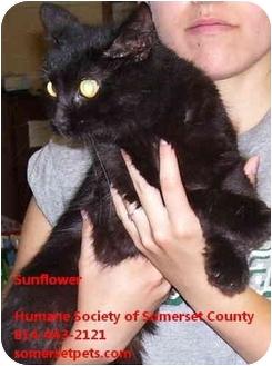 Domestic Longhair Cat for adoption in Somerset, Pennsylvania - Sunflower