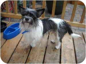 Terrier (Unknown Type, Small) Mix Dog for adoption in Salem, Oregon - Alex