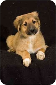 Golden Retriever/German Shepherd Dog Mix Puppy for adoption in Portland, Oregon - Zilli