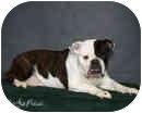 English Bulldog Dog for adoption in conyers, Georgia - Sally