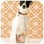 Photo 1 - Pointer/Greyhound Mix Dog for adoption in Portland, Oregon - Max