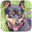 Photo 3 - Miniature Pinscher Dog for adoption in Greensboro, North Carolina - Zoe