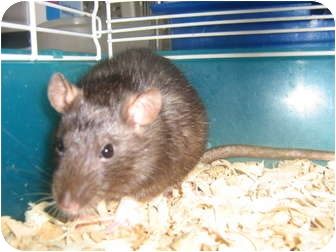 Rat for adoption in Cincinnati, Ohio - Thelma