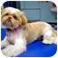 Photo 3 - Shih Tzu Dog for adoption in Los Angeles, California - JOSEE