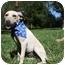 Photo 1 - Labrador Retriever/Terrier (Unknown Type, Medium) Mix Puppy for adoption in braxton, Mississippi - Madonna