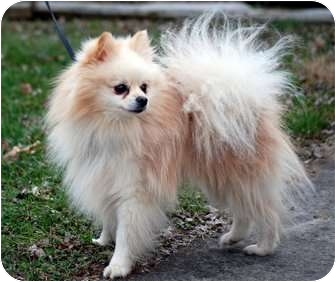 Pomeranian Dog for adoption in Providence, Rhode Island - Herby