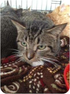Domestic Shorthair Cat for adoption in Mobile, Alabama - Berl