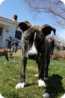 Boxer/American Staffordshire Terrier Mix Puppy for adoption in Shrewsbury, New Jersey - Bubba