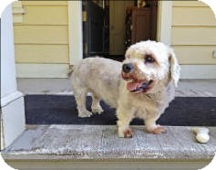 Dandie Dinmont Terrier Dog for adoption in Bryan, Texas - Buster