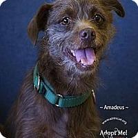 Adopt A Pet :: Amadeus - Phoenix, AZ