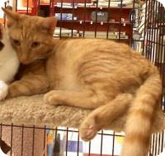 Domestic Mediumhair Cat for adoption in East Brunswick, New Jersey - Sampson