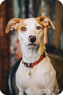 Whippet/Border Collie Mix Dog for adoption in Portland, Oregon - Mango