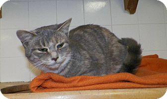 Domestic Shorthair Cat for adoption in Dover, Ohio - Pricilla