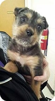 Terrier (Unknown Type, Small) Mix Puppy for adoption in Calumet City, Illinois - Opie