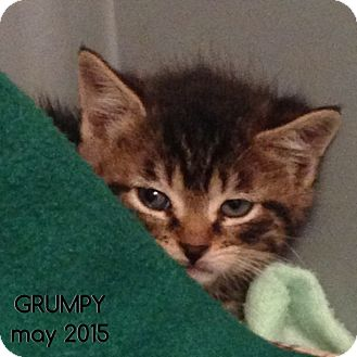 Domestic Shorthair Kitten for adoption in Great Neck, New York - GRUMPY