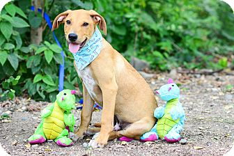 Labrador Retriever Mix Puppy for adoption in Victoria, British Columbia - Sunny
