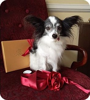 Papillon Dog for adoption in Nationwide, Maryland - Troy (in New York)